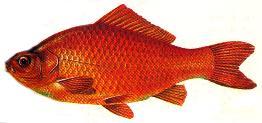 Noms des poissons jeu for Poisson rouge a donner