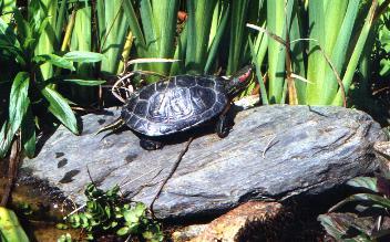 bassin tortue de floride
