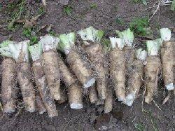 Cultiver l 39 endive - Culture des endives au jardin ...