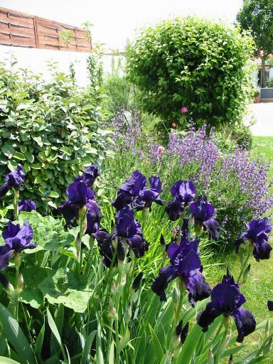 iris germanica au jardin d 39 agr ment au jardin d 39 ornement. Black Bedroom Furniture Sets. Home Design Ideas